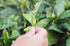 Green Tea Picker Close up to Tea leaf stock photography