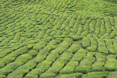 Green tea plant Royalty Free Stock Photos