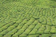 Green tea plant. At high land Royalty Free Stock Photos