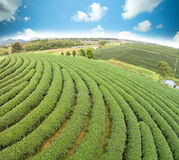 Green tea plant Royalty Free Stock Photo