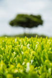 Green Tea Plant Royalty Free Stock Images