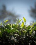 Green tea plant Royalty Free Stock Photo