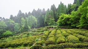 Green tea plant field in Lushan mountain in Jiangxi China stock photo