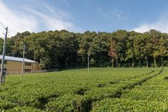 Green tea plantations royalty free stock image