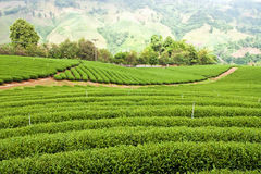 Green tea plantation Royalty Free Stock Photos