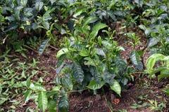 Green tea plantation Stock Images