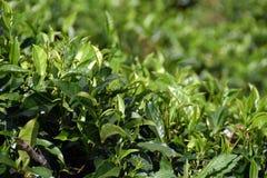 Green tea plantation Stock Photos