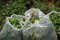 Green tea plantation Stock Photography