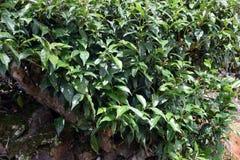 Green tea plantation Royalty Free Stock Photo
