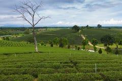 Green tea plantation along with abandon long tree Stock Image