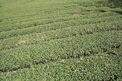 Green tea plantation background Royalty Free Stock Images