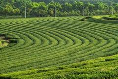 Green tea plantation background Royalty Free Stock Photos