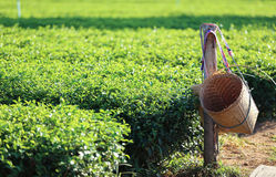 Green tea plantation with bamboo wood basket Royalty Free Stock Images