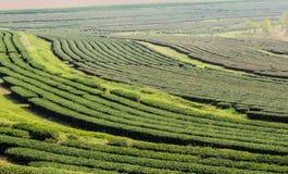 Green tea plantation Royalty Free Stock Photography