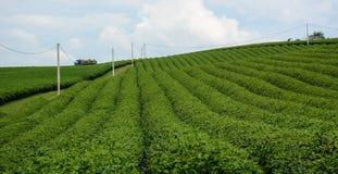 Green tea plantation with blue sky Royalty Free Stock Image