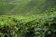Green Tea plantation in Cameron Highland Valley Royalty Free Stock Photography