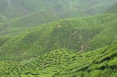 Green Tea plantation in Cameron Highland Valley Stock Photography