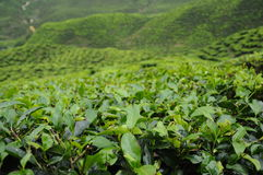 Green Tea plantation in Cameron Highland Valley Stock Images