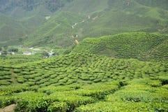 Green Tea plantation in Cameron Highland Valley Royalty Free Stock Image