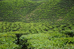 Green Tea plantation in Cameron Highland Valley Royalty Free Stock Images