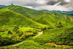 Green Tea Plantation, Cameron Highlands, Malaysia Stock Photo