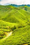 Green Tea Plantation, Cameron Highlands, Malaysia Stock Images