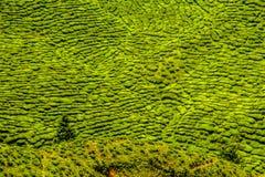 Green Tea Plantation, Cameron Highlands, Malaysia Royalty Free Stock Image