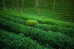 Green tea plantation Royalty Free Stock Image