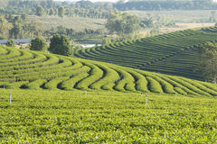 Green tea plantation. Green tea farm plantation in the morning stock photo