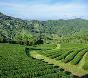 Green tea plantation Royalty Free Stock Images