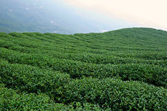 Green tea plantation field on the mountain Royalty Free Stock Image