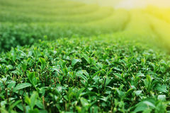 Green Tea. Plantation High Ridge Royalty Free Stock Image