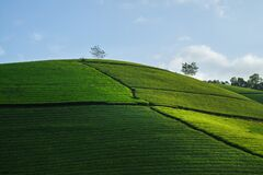 Free Green Tea Plantation Hills With Blue Sky On Background Stock Photos - 174845013