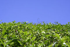 Green tea plantation kerala Stock Photo