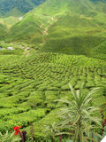Green tea plantation landscape. Green tea terraces in cameron highlands royalty free stock photography