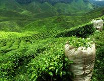 Green tea plantation landscape. Landscape - green tea plantation in malaysia stock image