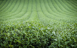 Green Tea Plantation Landscape Royalty Free Stock Images