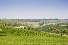 Green tea plantation landscape Stock Image