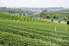 Green tea plantation landscape Stock Images