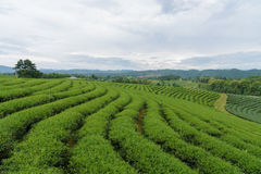 Green tea plantation and mountain complex with cloudy royalty free stock photo