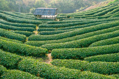 Green tea plantation on mountain Stock Photo