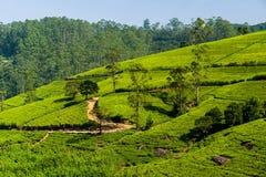 Green tea plantation in the mountains. Sri Lanka Stock Images