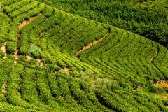 Green tea plantation in the mountains. Sri Lanka Stock Image