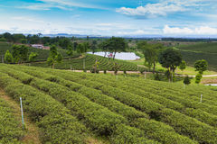 Green tea plantation over high land. Natural landscape background Stock Photos