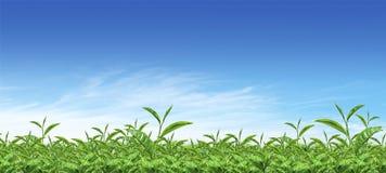 Green tea plantation Stock Image
