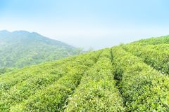 Tea plantation in spring Royalty Free Stock Photos