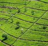 Green tea plantation in Sri Lanka Royalty Free Stock Image