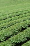 Green tea plantation. In Thailand Stock Photos