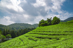 Green tea plantations, Boseong, South Korea. Boseong is known as the green tea capital of Korea. The surrounding climate and soil provide good conditions for Royalty Free Stock Photography