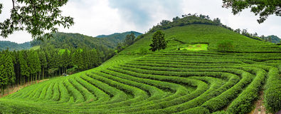 Green tea plantations, Boseong, South Korea. Boseong is known as the green tea capital of Korea. The surrounding climate and soil provide good conditions for Stock Photo